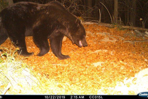 (c) Fundatia Conservation Carpathia_urs_camera de monitorizare